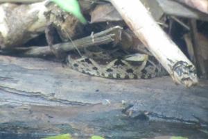 Un des serpents les plus dangereux du monde...bien caché sous une branche